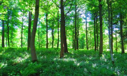 Pépinière Salix